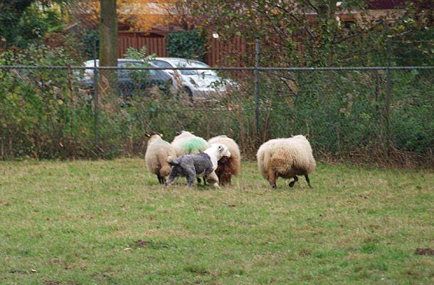 Pepper als schapendrijver