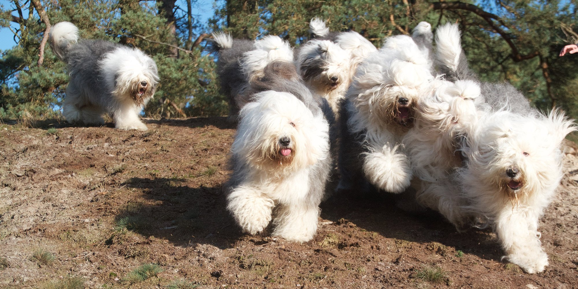 The most complete website about the Old English Sheepdog