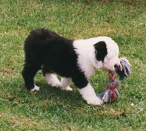 1997: Een Bobtail pup met gecoupeerde staart.