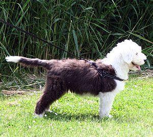 Na het coupeerverbod: Een Old English Sheepdog pup met staart.